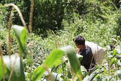 _O2A9927 (JauaMiranda) Tags: siembra chávez maíz caracas cosecha