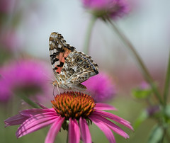 Painted Lady (nwitthuhn) Tags: butterfly paintedlady coneflower echinacea macro bokeh