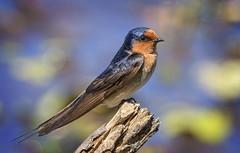 welcome swallow (Fat Burns ☮) Tags: welcomeswallow hirundoneoxena swallow bird australianbird australianswallow australianfauna fauna nikond500 nikon200500mmf56eedvr buckleyshole bribieisland queensland australia smallbird lagooncreekbarcaldine qld
