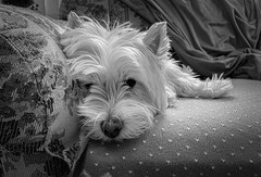 Relaxed - Explore (mswan777) Tags: pet dog cute rest relax indoor sofa fur ear nose paw apple iphone iphoneography mobile west highland white terrier monochrome black