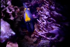 colors and aquariums (MoparMadman63) Tags: dallasworldaquarium fish aquarium dallastx nature swimming