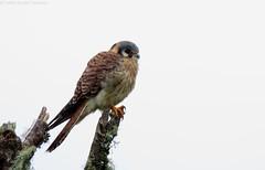 American Kestrel - Falco sparverius - Cernícalo Americano (Camilo Escobar Carbonari) Tags: americankestrel falcosparverius cernícalo birdofprey raptor forest