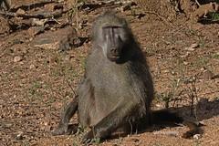 CHACBABO    0800 (Bryan J. Smith) Tags: chacmababoon papioursinus baboonsmonkeyandgalagos familycercopithecidae primatesofafrica mammalsofafrica ©bryanjsmith