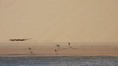 Delta do Parnaíba, PI - Brasil (sileneandrade10) Tags: sileneandrade deltadoparnaíba areia dunas rio mar pássaro natureza nature nikon nikoncorporationcoolpixp1000 nikoncoolpixp1000 pernilongodecostasnegras