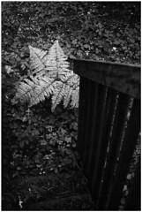 ArgusC3-TriX@1600-HC110-p-890 (device9) Tags: bw analogue analog monochrome blackandwhite shadow contrast landscape foliage folliage forest wood fern argusc3