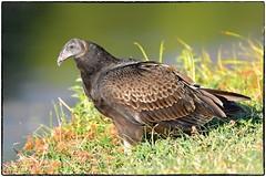 Turkey vulture, juv. (RKop) Tags: raphaelkopanphotography nikon d500 600mmf4evr 14xtciii barberlake cincinnati ohio