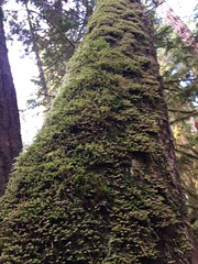 Olympic National Forest (thnomad) Tags: moss forest bryophyte oldgrowth liverwort