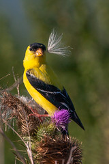 Fancy white umbrella (xrayman.dd) Tags: americanfinch marshbird bird thistle