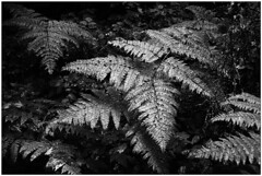 ArgusC3-TriX@1600-HC110-P-887 (device9) Tags: bw analogue analog monochrome blackandwhite shadow contrast landscape foliage folliage forest wood fern argusc3