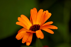 Blume orange (.rog3r1) Tags: orange garten garden sigma 105mm macro canon600d