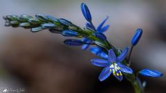 Blue Grass-Lily (hemerocallidaceae liliaceae) (pkwebbk70) Tags: bluegrasslily daylilyfamily australianwildflower flower wildflower blue spring sandycreekconservationpark canoneosr