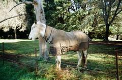 Horse.... (Matthew Paul Argall) Tags: olympusam100 fixedfocus 35mmfilm proimage100 kodakproimage100 100isofilm horse kalorama