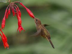 Bronzy Inca hummingbird sipping nectar from Fuchsia magellanica (PriscillaBurcher) Tags: trochilidae colibríesdecolombia hummingbirdsfromcolombia coeligenacoeligena bronzyinca colibríincabronceado picaflor chupaflor laceja colombia priscillaburcher dsc0240