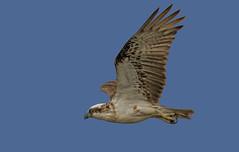 on patrol - eastern ospyay (Fat Burns ☮) Tags: easternosprey pandioncristatus bird australianbird fauna australianfauna wildlife australianwildlife raptor osprey nikond500 nikon20005000mmf56vr banksiabeach bribieisland queensland australia nikon200500mmf56eedvr lagooncreekbarcaldine qld