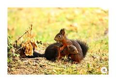 Écureuil_E7 (ANTOINE ARROBAS) Tags: écureuil treesquirrel eichhörnchen