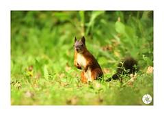 Écureuil_E3 (ANTOINE ARROBAS) Tags: écureuil treesquirrel eichhörnchen