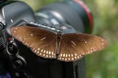 Butterfly photographer (billcoo) Tags: saigon garden xf1855mm fujifilm mcex11 travel fujinon fuji macro canon xh1 1855mm extension tube