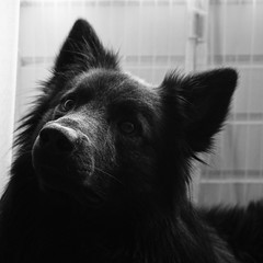 Totoro 🐺 (Jos Mecklenfeld) Tags: bw dog monochrome hond hund totoro dutchshepherd hollandseherder selp1650 sonya6000
