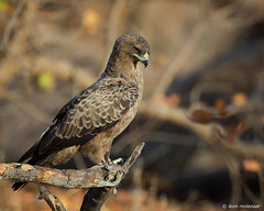 Yellow-billed Kite (J) (leendert3) Tags: leonmolenaar southafrica krugernationalpark naturereserve naturalhabitat nature wildlife wilderness wildanimal birds birdsofprey yellowbilledkite ngc npc naturethroughthelens