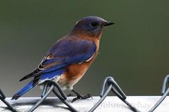 Eastern Bluebird (ritchey.jj) Tags: bluebird