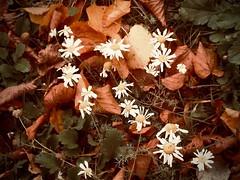 oktober (delnaet) Tags: octobre oktober autumn herfst bloem fleur flower blume fantasticnature
