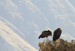 Condor (roberto_86) Tags: perù peru condor cruz colca canyon
