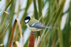 Great tit 大山雀 (Boxun Zhang) Tags: bird wildlife nature sonyalpha finland 鸟 野生动物 自然