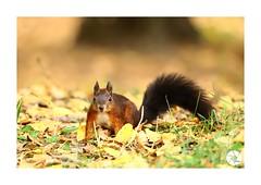 Écureuil_E2 (ANTOINE ARROBAS) Tags: écureuil treesquirrel eichhörnchen