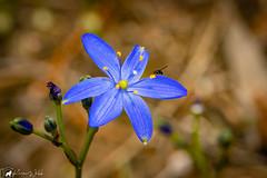 Blue Squill (asparagus liliaceae) (pkwebbk70) Tags: bluesquill australianwildflower wildflower spring blue flower sandycreekconservationpark canoneosr macro