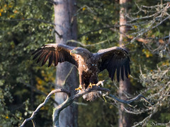 White-tailed eagle (petrinieminen1) Tags: eagle haliaeetusalbicilla bird finland kuusamo birdlife wildlife nature