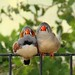 Finches Snuggling