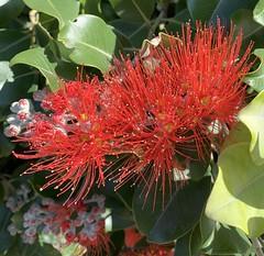 New Zealand pohutukawa or New Zealand Christmas Tree (The Pocket Rocket) Tags: newzealandpohutukawa newzealandchristmastree metrosiderosexcelsa oceangrove victoria australia 100flowers2019 image66100