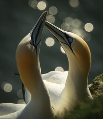Loved up (waynehavenhand1) Tags: beak canon photography photo sea water yorkshire wildlife nature rspb bempton cliffs bird love gannets gannet