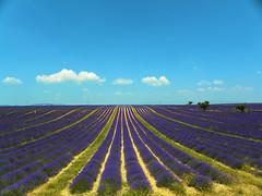 DSCN1623 (alainazer) Tags: valensole provence france fiori fleurs flowers fields champs colori colors couleurs lavande lavanda lavender