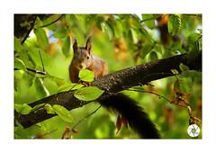 Écureuil_E8 (ANTOINE ARROBAS) Tags: écureuil treesquirrel eichhörnchen