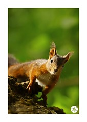 Écureuil_E6 (ANTOINE ARROBAS) Tags: écureuil treesquirrel eichhörnchen