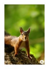 Écureuil_E5 (ANTOINE ARROBAS) Tags: écureuil treesquirrel eichhörnchen