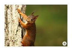 Écureuil_E4 (ANTOINE ARROBAS) Tags: écureuil treesquirrel eichhörnchen