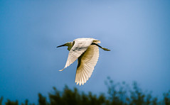 Little White Egret (Inka56) Tags: littleegret flight wings sky wildlife fauna animal bird waterbirds migratorybirds malabelacaplja krcedinskaada littlewhiteegret egrettagarzetta