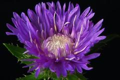 Cornflower (Michael Schönborn) Tags: nx500 nx50200f456 samsung flower cornflower makro macro closeup focusstacking stacked