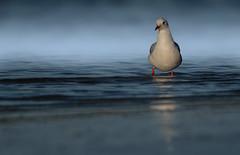 Seagull at the North sea (hardy-gjK) Tags: seagull möwe gull bird water waves wellen meer ocean wildlife animal oiseau vogel nordsee north sea germany deutschland mouette hardy nikon