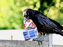 Struggling with a Milk Carton (On Explore #122, Oct. 6, 2019) ... (Irene, Montreal, QC) Tags: strugglingwithamilkcarton milk milkcarton crow crows fence fences feedingtime featheredfriends food birds birdsofafeather birdwatch birdsofbc bcbirds allanimals allbirds blackbirds trees bokeh feathers outdoors outdoorscenes struggling fencepost