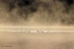 Misty morning (Patricia Buddelflink) Tags: lake mist gooses landscape nature