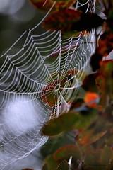 Beauty of autumn (Patricia Buddelflink) Tags: spider web autumn nature garden