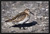 DUNLIN (PHOTOGRAPHY STARTS WITH P.H.) Tags: dunlin davidstow cornwall nikon d500 200500mm afs vr