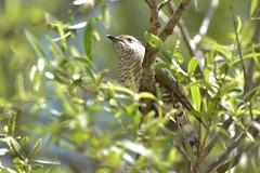 Little Bronze-Cuckoo (Luke6876) Tags: littlebronzecuckoo cuckoo bird animal wildlife australianwildlife nature