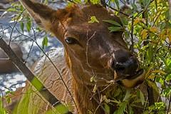 IMG_8726 cow elk (starc283) Tags: elk flickr flicker nature naturesfinest naturewatcher starc283 cowelk forest flora rockymountains rockymountainnationalforest canon7d colorado