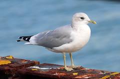 Common Gull! (RiverCrouchWalker) Tags: commongull laruscanus gull southendonsea essex september 2019 autumn pier bird