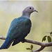 Green Imperial Pigeon Sri Lanka