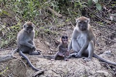 Monkey family (Bex.Walton) Tags: malaysia asia travel borneo sabah borneoecotours wildlife sukau kinabatangan kinabatanganriver monkeys